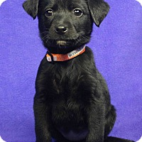 Adopt A Pet :: BLESSING - Westminster, CO