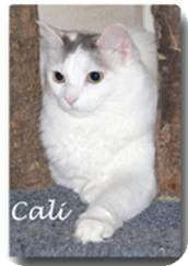 Turkish Van Cat for adoption in Nashville, Tennessee - Cali