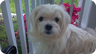 Maltese/Shih Tzu Mix Dog for adoption in Hazard, Kentucky - Princess