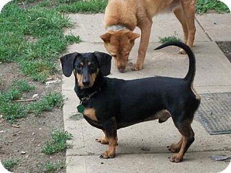 Dachshund Mix Dog for adoption in DAYTON, Ohio - YOYO