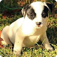 Adopt A Pet :: Annabell - Brattleboro, VT