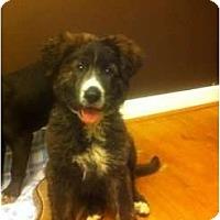 Adopt A Pet :: Blair - Alexandria, VA