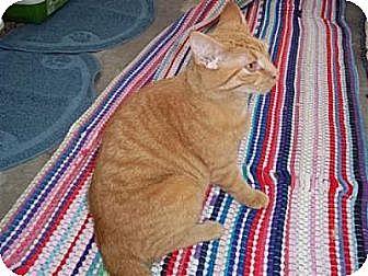 Domestic Shorthair Cat for adoption in Ashland, Ohio - Horatio
