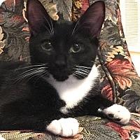 Domestic Shorthair Cat for adoption in Tampa, Florida - Elsa
