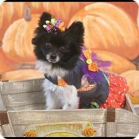 Adopt A Pet :: Binx Jinx - conroe, TX