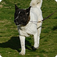 Akita Dog for adoption in Hayward, California - Marty