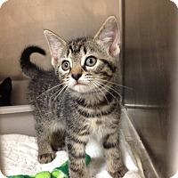 Adopt A Pet :: H6 tabby - Triadelphia, WV