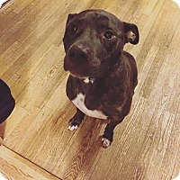 American Staffordshire Terrier Mix Dog for adoption in Huntington Station, New York - Puffy