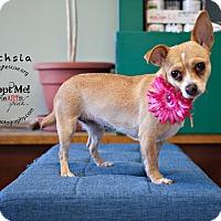 Adopt A Pet :: Fuchsia - Shawnee Mission, KS