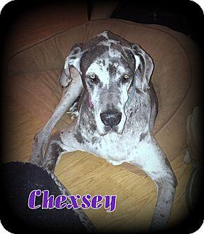Great Dane Dog for adoption in Denver, North Carolina - Chexsey