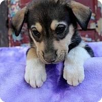 Adopt A Pet :: Wes - Westminster, CO