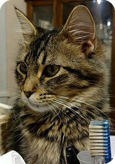 Maine Coon Cats Arkansas Rescue