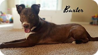 Australian Shepherd Mix Dog for adoption in Columbia, Tennessee - Baxter