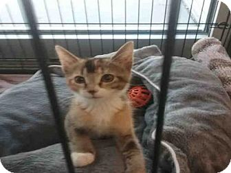 Abyssinian Kitten for adoption in Tallahassee, Florida - MISS CLEO