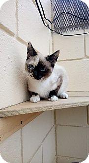 Siamese Kitten for adoption in San Diego, California - Capucchina