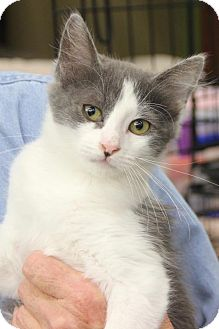 Domestic Mediumhair Kitten for adoption in Walnut Creek, California - Jane