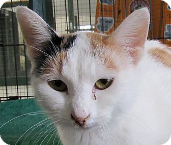 Domestic Shorthair Cat for adoption in Grinnell, Iowa - Judy Garland