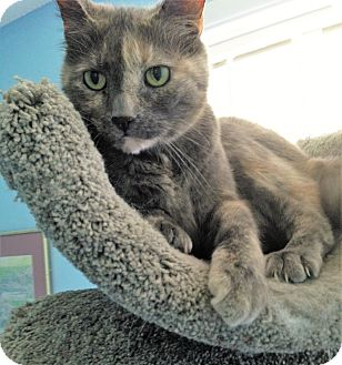 Domestic Shorthair Cat for adoption in Fairfax, Virginia - Lena