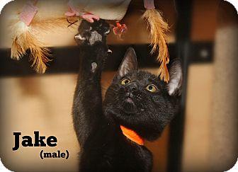Domestic Shorthair Kitten for adoption in Glen Mills, Pennsylvania - Jake