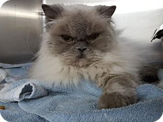 Persian Cat for adoption in Hollywood, Maryland - Smooshie