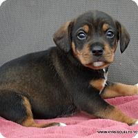 Adopt A Pet :: ARCHIE - PRINCETON, KY