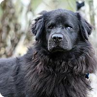 Adopt A Pet :: Homero - SOUTHINGTON, CT
