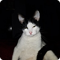 Adopt A Pet :: Patches - Greensburg, PA