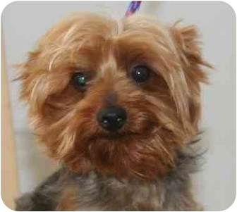 Yorkie, Yorkshire Terrier Dog for adoption in McDonough, Georgia - Doc