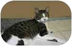 American Shorthair Cat for adoption in Lake Ronkonkoma, New York - Nestle