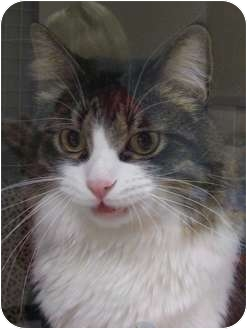 Maine Coon Cat for adoption in Brea, California - Nick
