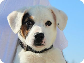 Jack Russell Terrier/Terrier (Unknown Type, Medium) Mix Puppy for adoption in Harrisonburg, Virginia - Opie