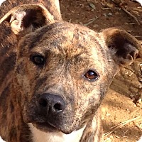 Adopt A Pet :: Jaycee - Spring Valley, NY