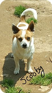 Jack Russell Terrier/Chihuahua Mix Dog for adoption in Burlington, Vermont - Scooby