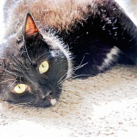 Domestic Shorthair Cat for adoption in Raleigh, North Carolina - Casey