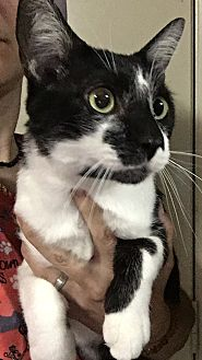 Domestic Shorthair Cat for adoption in Winchester, California - Batman