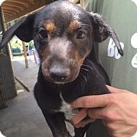 Adopt A Pet :: Lexie - Cashiers, NC