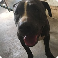 American Pit Bull Terrier Mix Dog for adoption in Manteca, California - Manny