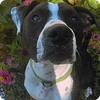 American Pit Bull Terrier Mix Dog for adoption in Des Moines, Iowa - Gypsy