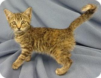 Domestic Shorthair Kitten for adoption in Olive Branch, Mississippi - Faith