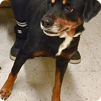 Rottweiler Mix Dog for adoption in Napoleon, Ohio - Roxy
