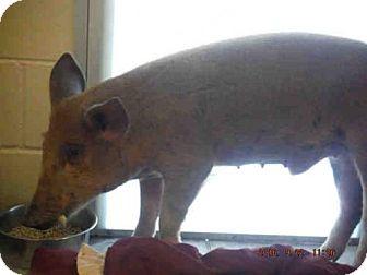 Pig (Farm) for adoption in Ocala, Florida - A179702