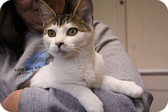 Domestic Shorthair Kitten for adoption in Avon, New York - Tenille