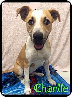 Anatolian Shepherd Mix Dog for adoption in Maumelle, Arkansas - Charlie - 538 / 2016