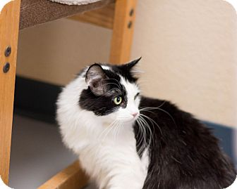 Domestic Mediumhair Cat for adoption in Fountain Hills, Arizona - Splash