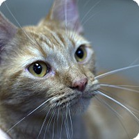 Domestic Shorthair Cat for adoption in Fremont, Nebraska - Jax