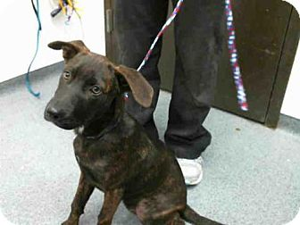 Labrador Retriever Mix Dog for adoption in Tulsa, Oklahoma - SUZIE