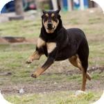 Rottweiler/Labrador Retriever Mix Dog for adoption in Katy, Texas - Parker
