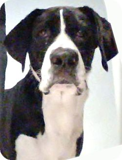 Great Dane Dog for adoption in Austin, Texas - Sadie