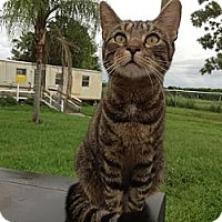 American Shorthair Cat for adoption in Zolfo Springs, Florida - Vanessa