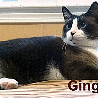 Adopt A Pet :: Ginger - Medway, MA